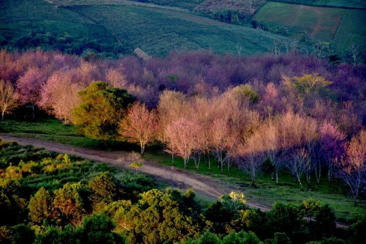 ฮานามิ ณ ภูลมโล ความงามรับต้นปี ทุกพื้นที่เป็นสีชมพู