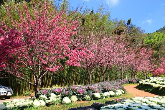 ไม่ต้องบินไกลก็สามารถชมความงามของดอกซากุระญี่ปุ่นได้ บนดอยอ่างขาง
